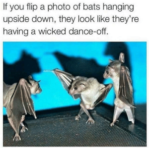 Disco Bats.: If you flip a photo of bats hanging  upside down, they look like they're  having a wicked dance-off. Disco Bats.