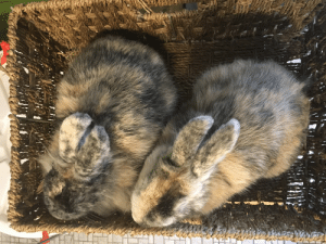 Love, Rabbit, and Lax: If you have a pet rabbit we'd love to see it at r/hairybuns, a new sub with lax rules