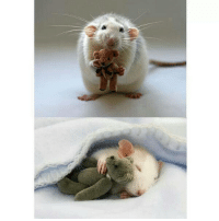 If you need some cheering up today: Here's a rat holding its own teddy bear.: If you need some cheering up today: Here's a rat holding its own teddy bear.