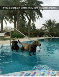 Dank, Water, and 🤖: If you put labs in water, they turn into dachshunds Damn lil legs