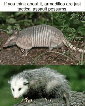 Funny, Via, and Think: If you think about it, armadillos are just  tactical assault possums Ready for battle, sir via /r/funny https://ift.tt/2PLjozH