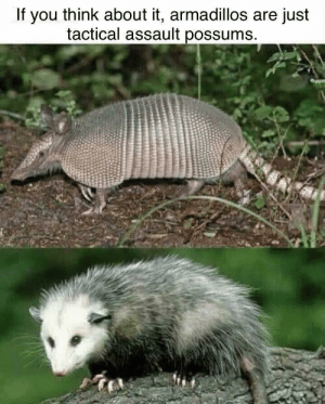 Memes, Via, and Think: If you think about it, armadillos are just  tactical assault possums Rhinos are just tactical assault hippos via /r/memes https://ift.tt/2NCyCFa