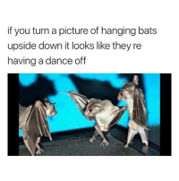 Lmao dead 😂 (@hilarious.ted): if you turn a picture of hanging bats  upside down it looks like they re  having a dance off Lmao dead 😂 (@hilarious.ted)