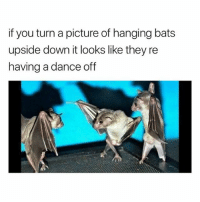 @hilarious.ted is my favourite animal memes page: if you turn a picture of hanging bats  upside down it looks like they re  having a dance off @hilarious.ted is my favourite animal memes page