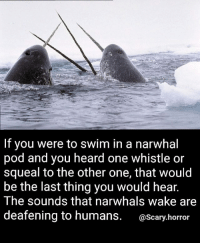 Memes, Sorry, and 🤖: If you were to swim in a narwhal  pod and you heard one whistle or  squeal to the other one, that would  be the last thing you would hear.  The sounds that narwhals wake are  deafening to humans  @Scary horror Whaletastic Sorry for the spelling error, again 😤