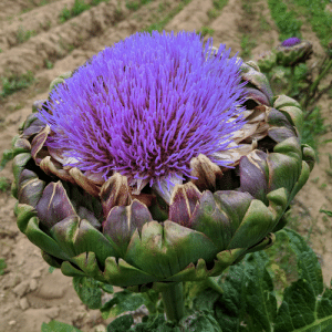 What Does, You, and What: If you were wandering what does a blooming artichoke looks like, here you go
