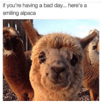 Bad, Bad Day, and Run: if you're having a bad day... here's a  smiling alpaca <p>Does anyone want to run a alpaca farm with me?</p>