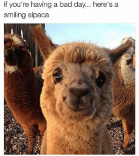 Bad, Bad Day, and Memes: if you're having a bad day... here's a  smiling alpaca like if you need this today 💖 (@feministvoice)