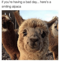 tag someone to brighten their Monday 🤗 (@romper): if you're having a bad day... here's a  smiling alpaca tag someone to brighten their Monday 🤗 (@romper)