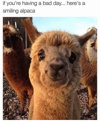 Bad, Bad Day, and Memes: if you're having a bad day... here's a  smiling alpaca