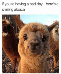 No bad days around this fella.: if you're having a bad day... here's a  smiling alpaca No bad days around this fella.