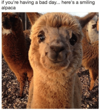 Bad, Bad Day, and Alpaca: if you're having a bad day... here's a smiling  alpaca