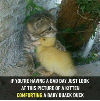 9gag, Bad, and Bad Day: IF YOU'RE HAVING A BAD DAY JUST LOOK  AT THIS PICTURE OF A KITTEN  COMFORTING A BABY QUACK DUCK Perhaps the cat is warming up its food. Follow @9gag to laugh more. 9gag cat duck justjoking