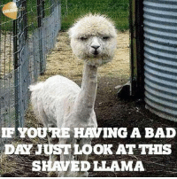 the llama song: IF YOURE  ING A BAD  DAYJ  LOOK AT THIS  UST SHAVED LLAMA