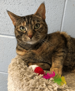 Cats, Children, and Dogs: If you're looking for a great cat who loves children, gets along with other cats and doesn't mind dogs, then hurry to Tails and meet me! My name is Arietta and I'm 3 yrs. old. I'm very loving and affectionate....and smart! I'll come when you call my name. One of my favorite things to do is to lay beside the people I love. My brother was adopted the other day. I'm happy for him and hope my turn will come soon. I promise to be the purrfect addition  to your home!
