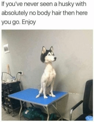 Animals, Funny, and Memes: If you've never seen a husky with  absolutely no body hair then here  you go. Enjoy 50+ Funny Husky Memes That Will Keep You Laughing For Hours #husky #huskymemes #dogmemes #memes #funnymemes - Lovely Animals World