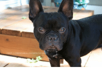 Griff is available for adoption! Read all about this guy on our website  and apply to adopt him today: frenchbulldogrescue.org/adoption-info/available-dogs2/  Remember, we do accept out-of-state/province applications, and we adopt to residents of the US and Canada. Read more about our adoption process on our website. :): IFF FRENCHBU Griff is available for adoption! Read all about this guy on our website  and apply to adopt him today: frenchbulldogrescue.org/adoption-info/available-dogs2/  Remember, we do accept out-of-state/province applications, and we adopt to residents of the US and Canada. Read more about our adoption process on our website. :)