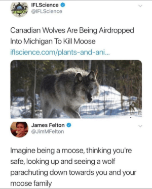 Family, Michigan, and Science: IFLScience >  @IFLScience  SCIENCE  Canadian wolves Are Being Airdropped  Into Michigan To Kill Moose  iflscience.com/plants-and-ani...  James Felton  @JimMFelton  Imagine being a moose, thinking you're  safe, looking up and seeing a wolf  parachuting down towards you and your  moose family Moose there it is