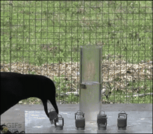 """summertimelovegirl: blue-author:  gallifrey-feels:  awkwardsmilememe:  THIS CROW FUCKING UNDERSTANDS WATER DISPLACEMENT. WHY THE FUCK DO I HAVE TO BE TOLD EVERY YEAR BY A TEACHER HOW WATER DISPLACEMENT WORKS. DO THEY THINK I'M LESS INTELLIGENT THAN A FUCKING CROW? FUCKING DONE.   Crows discovered the principle of displacement in the third century BC, when the philosopher Awkimedes, upon noticing the level of his bird bath rose in proportion with the amount of his body that was submerged, reportedly exclaimed """"EURECAW!"""" and flew through the streets of Athens shouting his discovery.  EURECAW : IFS summertimelovegirl: blue-author:  gallifrey-feels:  awkwardsmilememe:  THIS CROW FUCKING UNDERSTANDS WATER DISPLACEMENT. WHY THE FUCK DO I HAVE TO BE TOLD EVERY YEAR BY A TEACHER HOW WATER DISPLACEMENT WORKS. DO THEY THINK I'M LESS INTELLIGENT THAN A FUCKING CROW? FUCKING DONE.   Crows discovered the principle of displacement in the third century BC, when the philosopher Awkimedes, upon noticing the level of his bird bath rose in proportion with the amount of his body that was submerged, reportedly exclaimed """"EURECAW!"""" and flew through the streets of Athens shouting his discovery.  EURECAW"""