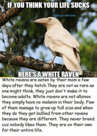 Bodies , Growing Up, and Life: IFYOU THINK YOUR LIFE SUCKS  Sarcasm Mother  HERES AWHITE RAVEN  White ravens are eaten by their mom a few  days after they hatch.They are not as rare as  one might think, they just don't make it to  become adults. White ravens are not albinos  they simply have no melanin in their body. Few  of them manage to grow up full size and when  they do they get bullied from other ravens  because they are different. They never breed  cuz nobody likes them. They are on their own  for their entire life.