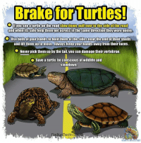 Brake for Turtles       #turtles: Ifyousee a turtle on the road slowdown, pullover tothe side of the road  and whenfts safe help themgetacross in the same direction they were going.  Use both of your hands to hold themat the sidesnear the end of their shells  and lift them upto move, Always keepyour hands away from their faces  ● Never pick them up by the tail, you can damage their vertebrae.  Save a turtle, be conscious of wildlife and  slowdown  ato Brake for Turtles       #turtles