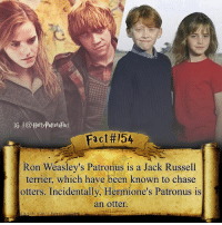 Harry Potter, Memes, and Otters: IG l@Harry Potter Fact  Fact#154  Ron Weasley's Patronus is a Jack Russell  terrier, which have been known to chase  otters. Incidentally, Hermione's Patronus is  an otter. They were meant to be together.