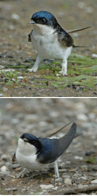 Target, Tumblr, and Blog: iguanamouth:  euclase:House martins are the cutest because they have fuzzy lion paws that make them look like fierce little griffins.oh no