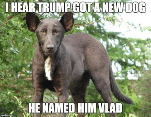 He kinda resembles someone I've seen before by mksedai FOLLOW 4 MORE MEMES.: IHEARTRUMPGOTANEW DOG  HE NAMED HIM VLAD  imgflip.com He kinda resembles someone I've seen before by mksedai FOLLOW 4 MORE MEMES.