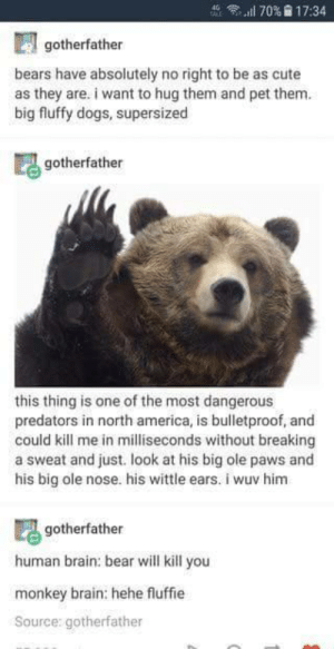 America, Cute, and Dogs: ''Il 70%  17:34  gotherfather  bears have absolutely no right to be as cute  as they are. i want to hug them and pet them.  big fluffy dogs, supersized  gotherfather  this thing is one of the most dangerous  predators in north america, is bulletproof, and  could kill me in milliseconds without breaking  a sweat and just. look at his big ole paws and  his big ole nose. his wittle ears. i wuv him  gotherfather  human brain: bear will kill you  monkey brain: hehe fluffie  Source: gotherfather Cute little bears