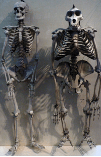 This is what a gorilla skeleton looks like compared to a human's.: il This is what a gorilla skeleton looks like compared to a human's.