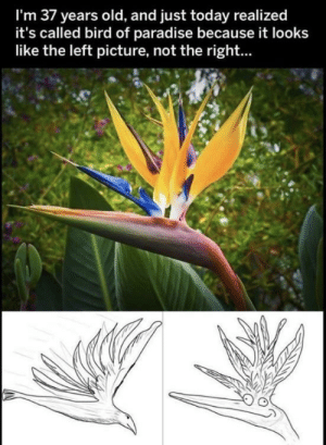 Nope still see it as the derpy bird: I'm 37 years old, and just today realized  it's called bird of paradise because it looks  like the left picture, not the right... Nope still see it as the derpy bird