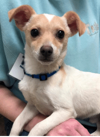 Chihuahua, Love, and Memes: I'm called Chicken (my sister was Enchilada), but maybe you'd rename me Mighty or Superman or Mr. Muscles? I'm a 9 month old chihuahua and would love nothing more than someone to love me and let me snuggle with them. I am the #1 Best Lap Sitter Ever!! I'm a little quiet and shy which is perhaps why I got the name I'm currently stuck with. But I have faith that there is someone out there who will turn me into a real live Superhero!! If I'm not in the main dog area, please Ask to meet me. Once you do, you won't be able to stop yourself from falling in love! Tails is open 12-7 today, 12-5 tomorrow and Sunday.  NOTE: Please visit the Tails website for information on adoptions and adoption fees www.tailshumanesociety.org/adopt