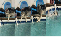 Memes, Cool, and Husky: I'm chillin by the pool. It's hot, but I'm so cool 🌝🌝 Follow @9gagcute - husky moonmoon