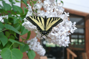 Obsessed, Butterflys, and With: I'm obsessed with butterflys :)