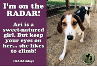 <3 ARI is on the RADAR! <3  We wouldn't be lyin' if we told you that one of the meanings of the name Ari is lion! Two years old and a Coonhound mix, Ari arrived as a stray on March 27th at the Greenwood County Animal Shelter in South Carolina. It was tough enough to find an adopter or rescue for another Hound dog, but when Ari tested heartworm positive, all bets were off...  Please visit Ari's page to read more: http://radardogs.org/ari  Please donate to Ari's Fund - $250 raised of $375 goal: http://radardogs.org/ari  Photos: http://raisingaidfordogsatrisk.zenfolio.com/p40348718  #radardogs #radargiveshope #radarsaveslives #funditforward: I'm on the  RADAR!  Ari is a  sweet-natured  girl. But keep  your eyes on  her...  she likes  to climb!  #RADAR dogs <3 ARI is on the RADAR! <3  We wouldn't be lyin' if we told you that one of the meanings of the name Ari is lion! Two years old and a Coonhound mix, Ari arrived as a stray on March 27th at the Greenwood County Animal Shelter in South Carolina. It was tough enough to find an adopter or rescue for another Hound dog, but when Ari tested heartworm positive, all bets were off...  Please visit Ari's page to read more: http://radardogs.org/ari  Please donate to Ari's Fund - $250 raised of $375 goal: http://radardogs.org/ari  Photos: http://raisingaidfordogsatrisk.zenfolio.com/p40348718  #radardogs #radargiveshope #radarsaveslives #funditforward