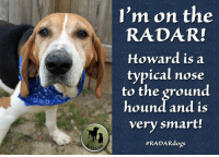 """♥️ HOWARD is on the RADAR! ♥️  Howard the Treeing Walker Coonhound is a sweet boy who just wants a home where he will be taken care of. He was picked up by animal control on March 18th and taken directly to the vet to have an embedded collar removed and the resulting wound treated. He then ended up at the Darlington County Humane Society shelter in South Carolina. While his neck healed, he languished at the shelter for a long time. In addition to being """"just a hound dog,"""" Howard was heartworm positive...  Please visit Howard's page to read more: https://radardogs.org/howard2  Please donate to Howard's Fund - $150 raised of $317 goal: https://radardogs.org/howard2  Photos: http://raisingaidfordogsatrisk.zenfolio.com/p509730890  #radardogs #radargiveshope #radarsaveslives #funditforward #hound: I'm on the  RADAR!  Howard is a  typical nose  to the ground  hound and is  very smart!  ♥️ HOWARD is on the RADAR! ♥️  Howard the Treeing Walker Coonhound is a sweet boy who just wants a home where he will be taken care of. He was picked up by animal control on March 18th and taken directly to the vet to have an embedded collar removed and the resulting wound treated. He then ended up at the Darlington County Humane Society shelter in South Carolina. While his neck healed, he languished at the shelter for a long time. In addition to being """"just a hound dog,"""" Howard was heartworm positive...  Please visit Howard's page to read more: https://radardogs.org/howard2  Please donate to Howard's Fund - $150 raised of $317 goal: https://radardogs.org/howard2  Photos: http://raisingaidfordogsatrisk.zenfolio.com/p509730890  #radardogs #radargiveshope #radarsaveslives #funditforward #hound"""