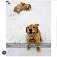 Beautiful, Memes, and Puppy: I'm puppy sitting this weekend and she's the most beautiful  golden. Dont mind my dog in the background.