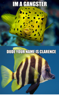 Dat OC but go like Tropical Fish Memes (Again): IMA GANGSTER  DUDE YOUR NAME IS CLARENCE Dat OC but go like Tropical Fish Memes (Again)