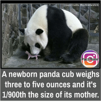 Cute, Facts, and Friends: Image Credits: Rex/Shutterstock  Factpoint  A newborn panda cub weighs  three to five ounces and it's  1/900th the size of its mother. This is cute 💟 did you know fact point , education amazing dyk unknown facts daily facts💯 didyouknow follow follow4follow earth science commonsense f4f factpoint instafact awesome world worldfacts like like4ike tag friends Don't forget to tag your friends 👍