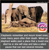 Facts, Friends, and Memes: Image Credits: Storyful  FactPoint  Elephants remember and mourn loved ones,  even many years after their death. When an  elephant walks past a place that a loved one  died he or she will stop and take a silent  pause that can last several minutes. This is truly lovely 💟 did you know fact point , education amazing dyk unknown facts daily facts💯 didyouknow follow follow4follow earth science commonsense f4f factpoint instafact awesome world worldfacts like like4ike tag friends Don't forget to tag your friends 👍