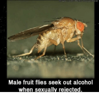 Martin, Alcohol, and Image: Image oredity Martin CooperF ckr  Male fruit flies seek out alcohol  when sexually rejected