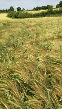 """Fail, Target, and Tumblr: imdefinitelyyourcat:  apoeticmindset:  naturallyaspirated:  woluf: #this is the happiest video in existence #also the grass reminds me of the land before time grass that i wanted to eat as a kid  @olumea   """"I'm a *rustlerustlerustle*DOG!     I'm a *rustlerustlerustle*DOG!     I'm a *rustlerustlerustle*DOG!""""   If you fail to smile please unfollow me"""