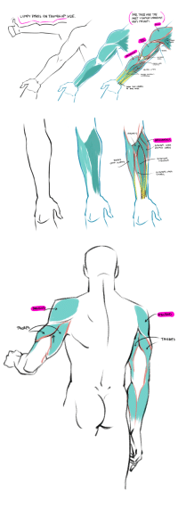 typette: eehn:  I did some anatomy. Full view to see my tiny, tiny notes.  it's always hard for me to remember this so, reblogging for everyone else like me :C : IMO, THESE ARE THE  MOST VISUALY IMPORTANT  ARM MUSCLES.  LUMPY PARTS ON THUMBS UP SIDE.  TRICEPS  PR  ENES   RADIAUS LoNCus  CARPI ULNARIS   TRiCErS typette: eehn:  I did some anatomy. Full view to see my tiny, tiny notes.  it's always hard for me to remember this so, reblogging for everyone else like me :C