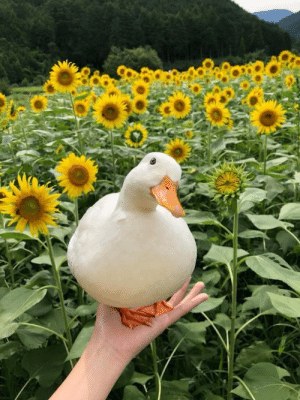 imonlyadumpling: I will gladly accept this round duck in these trying times: imonlyadumpling: I will gladly accept this round duck in these trying times