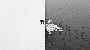 impetuousss:  A man feeding swans and ducks from a snowy river bank in Krakow  the contrast is insane : impetuousss:  A man feeding swans and ducks from a snowy river bank in Krakow  the contrast is insane
