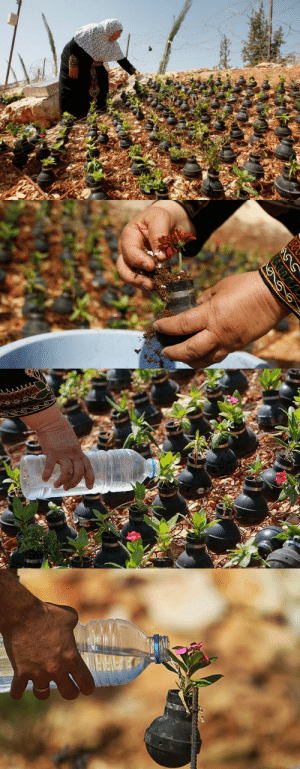 imransuleiman:Palestinian lady collects gas bombs fired by Israeli army. She grows flowers in these bombs.: imransuleiman:Palestinian lady collects gas bombs fired by Israeli army. She grows flowers in these bombs.