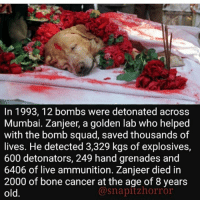 WE DONT DESERVE DOGGOS 😭 - - horror creepy scary didyouknow fact dog doggo cute awesome hero dogsofinstagram: In 1993, 12 bombs were detonated across  Mumbai. Zanjeer, a golden lab who helped  with the bomb squad, saved thousands of  lives. He detected 3,329 kgs of explosives,  600 detonators, 249 hand grenades and  6406 of live ammunition. Zanjeer died in  2000 of bone cancer at the age of 8 years  old.  @snapitzhorror WE DONT DESERVE DOGGOS 😭 - - horror creepy scary didyouknow fact dog doggo cute awesome hero dogsofinstagram