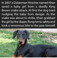 True hero!: In 2007 a Doberman Pinscher named Khan  saved a baby girl from a deadly King  Brown snake attack. At first the dog tried  nudging the baby from danger. As the  snake was about to strike, Khan grabbed  the girl by the diaper, flung her to safety and  took a venomous bite to the paw himself. True hero!