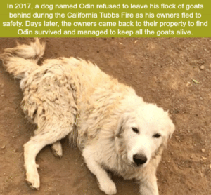 What did we do to deserve dogs?: In 2017, a dog named Odin refused to leave his flock of goats  behind during the California Tubbs Fire as his owners fled to  safety. Days later, the owners came back to their property to find  Odin survived and managed to keep all the goats alive. What did we do to deserve dogs?