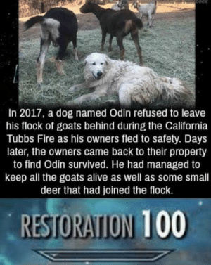 The bestest of bois by JustSomeGuy_Idk MORE MEMES: In 2017, a dog named Odin refused to leave  his flock of goats behind during the California  Tubbs Fire as his owners fled to safety. Days  later, the owners came back to their property  to find Odin survived. He had managed to  keep all the goats alive as well as some small  deer that had joined the flock.  RESTORATION 100 The bestest of bois by JustSomeGuy_Idk MORE MEMES